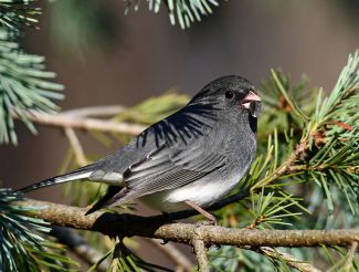 Dark Eyed Junco in an Evergreen.jpg